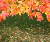 Kuvituskuva, syksyn värikkäät puiden lehdet